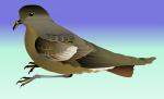 Wilson's storm petrel