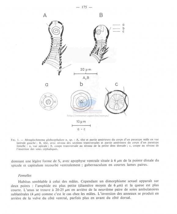 Metaglochinema globicephalum