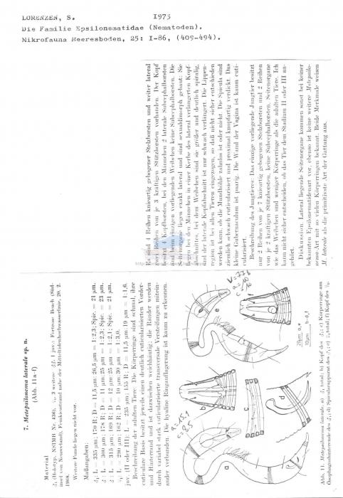 Metepsilonema laterale