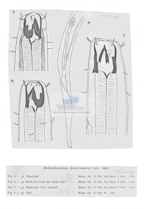 Metoncholaimus denticaudatus