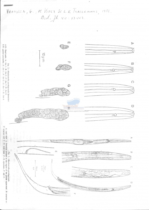 Monhystrella paraelegantula