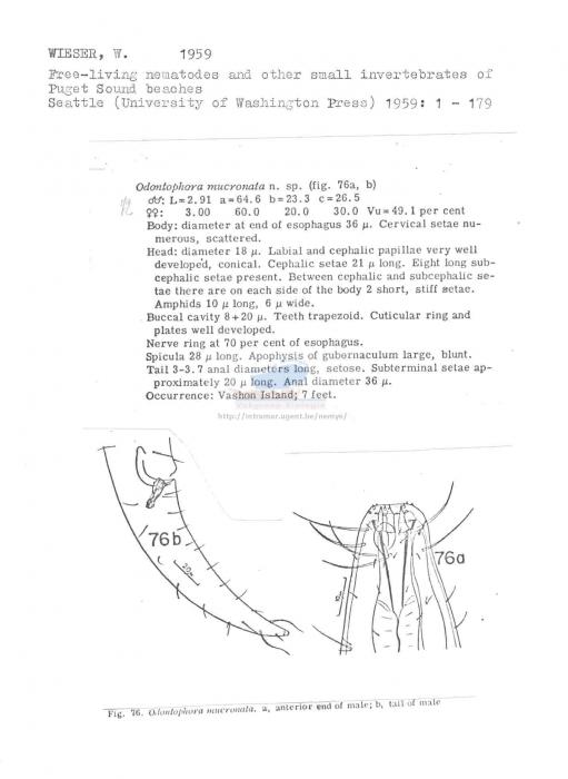 Odontophora mucronata