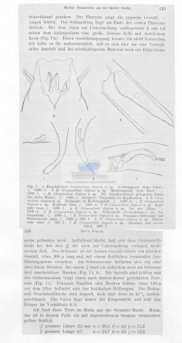 Oxyonchus elegans