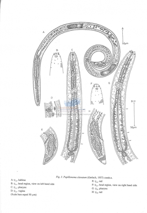 Papillonema
