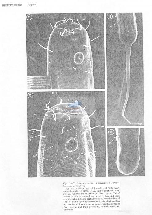 Paralinhomoeus gerlachi