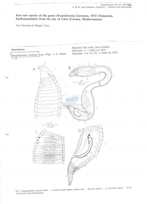 Perepsilonema corsicum