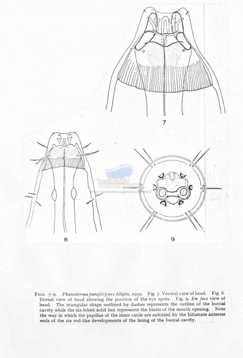 Phanoderma parafilipjevi