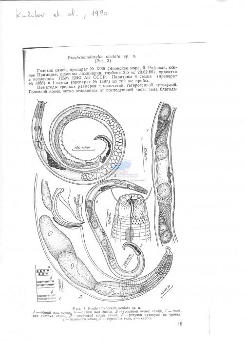 Prochromadorella oculata