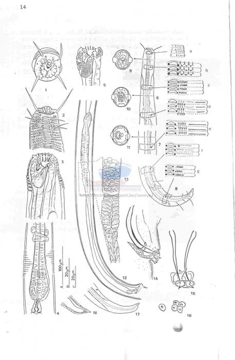 Ptycholaimellus setosus