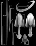 Asbestopluma rickettsi sp. nov. spicules