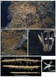 Cladorhiza evae sp. nov.