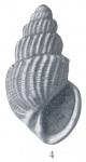 Microstelma arescum (Woodring, 1928)
