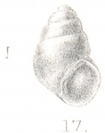 Rissoina pellucida Preston, 1905