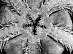 Ophienigma spinilimbatum