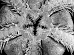 Ophiuroidea (brittle stars)