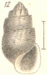 Rissoina turrita Garrett, 1873