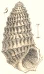 Rissoina horrida Garrett, 1873
