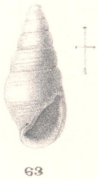 Rissoina enteles Melvill & Standen, 1896