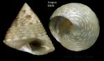 Clelandella dautzenbergi Gofas, 2005Specimen from Ampère seamount, 'Seamount 1' DE98, 300-325 m (actual height 9.3 mm)