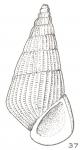Pleneconea angulata Laseron, 1956