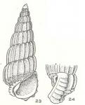 Costalynia birestes Laseron, 1956