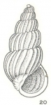 Costalynia decapitata Laseron, 1956