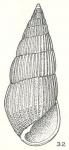 Peripetella queenslandica Laseron, 1956
