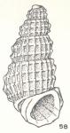 Planapexia quadrina Laseron, 1956