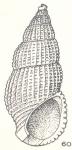 Isselia polytropa augerea Laseron, 1956