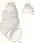 Dentrissoina thornleyana Laseron, 1956