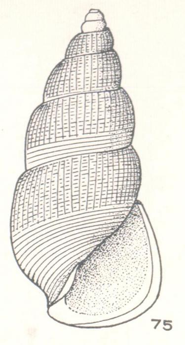 Zymalata concinna Laseron, 1956