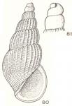 Condylicia collaxis Laseron, 1956