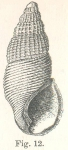 Rissoina polytropa Hedley, 1899