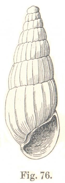 Rissoina cretacea Tenison-Woods, 1878