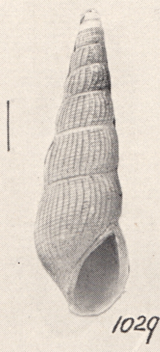 Rissoina calia elongata Turton, 1932