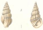 Rissoina subfuniculata Weinkauff, 1881