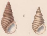 Rissoina (Iravadia) trochlearis var. minor G. Nevill, 1885