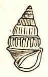 Rissoina walkeri E. A. Smith, 1893