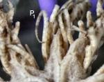 Zygometra elegans (Bell, 1882) Holotype - proximal pinnules