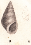 Rissoina tridentata Michaud, 1830