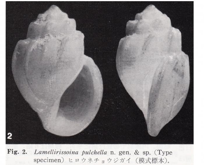 Lamellirissoina pulchella Kuroda & Habe, 1991