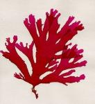 Callophyllis laciniata (Hudson) Kützing