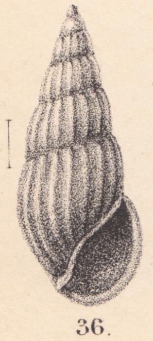 Rissoina decipiens E. A. Smith, 1890