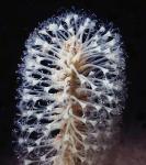 Malacobelemnon daytoni sp. nov.