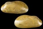 Idas cylindricus