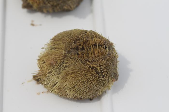 Sea potato or heart urchin - Echinocardium cordatum