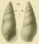 Rissoina zeltnerioides Yokoyama, 1920