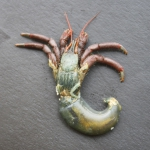 Clibanarius senegalensis