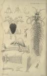 Crithida thalassina as Fig 5 in Gosse, 1855 pl.8