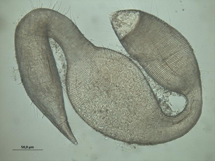 Dracograllus eira